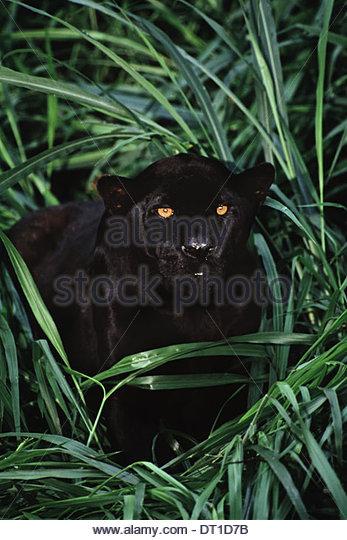 Brazil Black jaguar Pantheronca Brazil - Stock Image