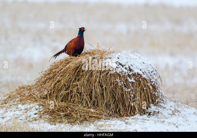 Common pheasant (Phasianus colchicus torquatus) male standing on top of a hay bale in a snow covered field - Stock Image
