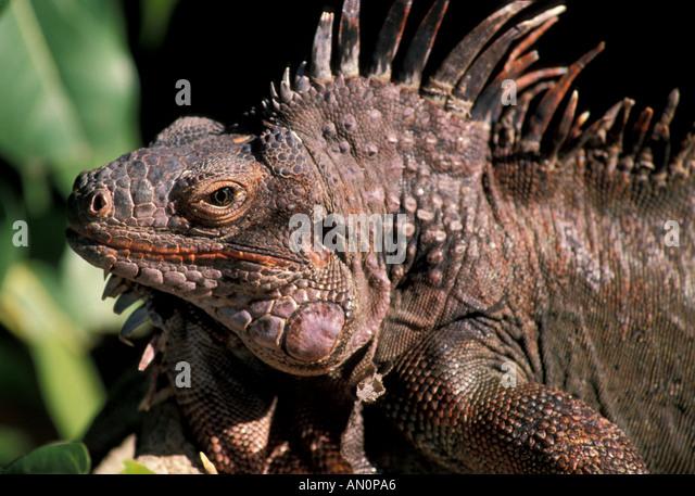 Caribbean marine iguana portrait St Thomas USVI - Stock Image
