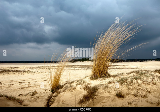 The Netherlands, Loon op Zand, National Park De Loonse en Drunense Duinen. Sand landscape and long grass. - Stock-Bilder