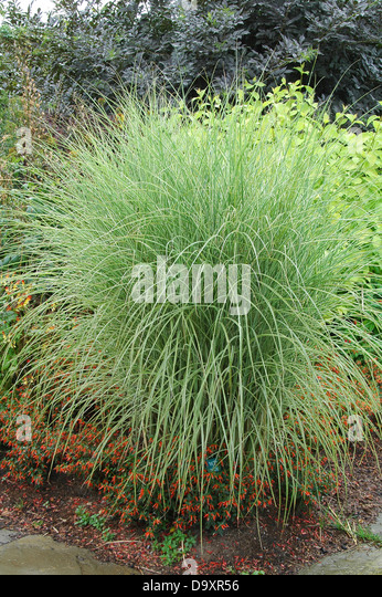 Miscanthus sinensis morning light stock photos for Common ornamental grasses