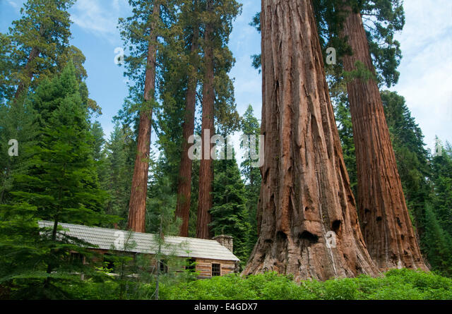 Mariposa grove stock photos mariposa grove stock images for Log cabin sequoia national park