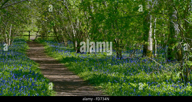 Path through English bluebells in Gransden and Waresley Wood Cambridgeshire - Stock Image