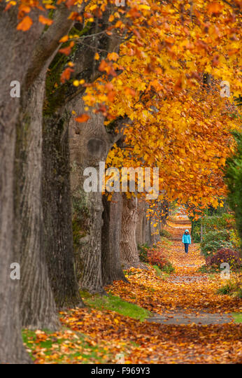 Maple trees along west 10th ave, Vancouver, British Columbia, Canada - Stock-Bilder