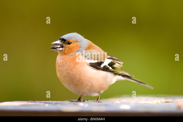 A male chaffinch on a bird table - Stock-Bilder