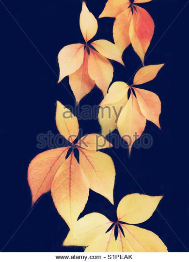 Yellow Climbing Leaves on a Blue Background - Stock Image