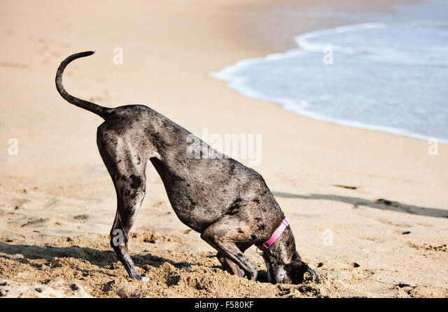 Humorous sunny day beach adult Great Dane dog digs big hole in sand with head completely inside hole butt up in - Stock Image