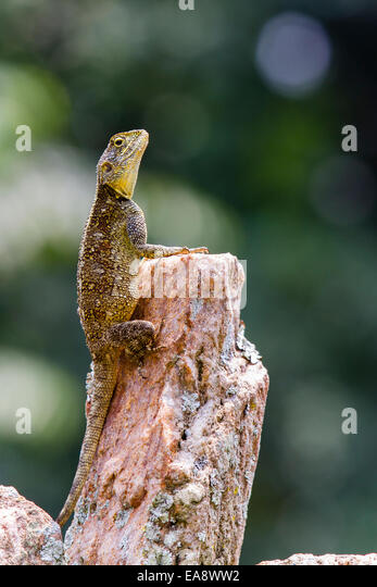A posing Agama in the Kibale forest, Uganda - Stock Image