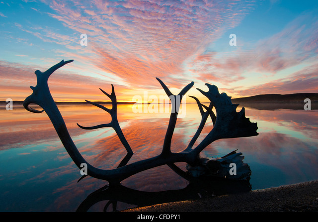 Caribou antler (Rangifer tarandus) and autumn sunrise, Barrenlands, central Northwest Territories, Arctic Canada - Stock Image