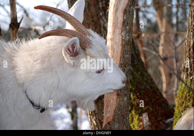 Goat eating bark - Stock Image