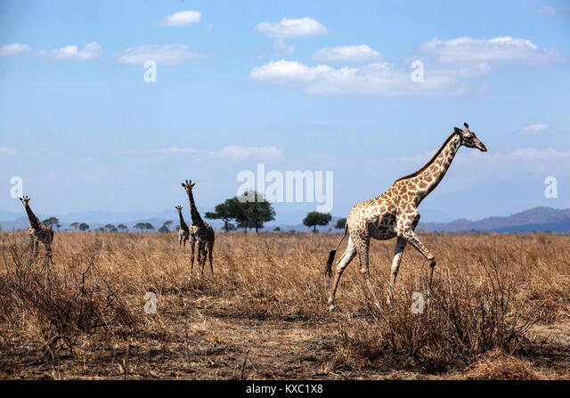 A pack of Giraffe in Mikumi National Park in Morogoro, Tanzania. - Stock Image