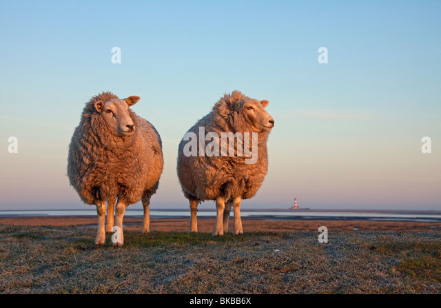 Domestic Sheep (Ovis ammon aries) with lighthouse Westerheversand on the far horizon. - Stock Image
