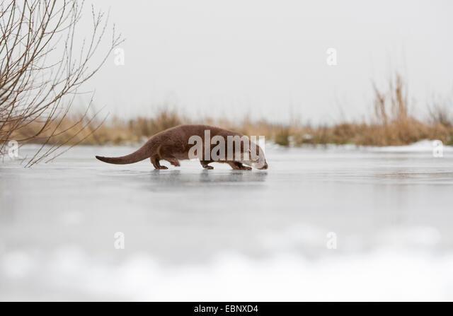 European river otter, European Otter, Eurasian Otter (Lutra lutra), female walking on a frozen up ice cap, Germany - Stock Image