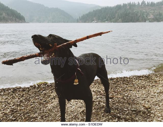 Dog on beach after retrieving a stick in a lake. Black lab mix, lakeshore at Lake Coeur d'Alene, Idaho. - Stock-Bilder