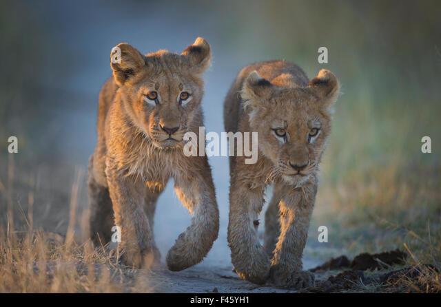 Two African lion (Panthera leo) cubs walking on a path. Okavango Delta, Botswana. - Stock-Bilder