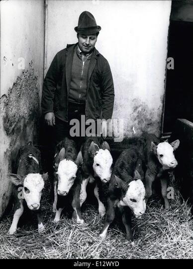 Feb. 25, 2012 - Sensational in a Bavarian cow-stable: The cow ''Amsel'' of farmer Anton Stegmuller - Stock Image