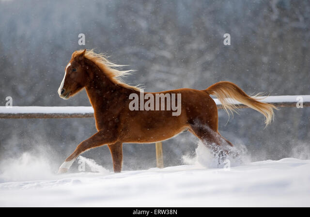 Arabian Horse trotting in snow at winter pasture - Stock Image