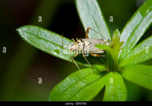 Oak Bug (Rhabdomiris striatellus), on a leaf, Germany - Stock Image