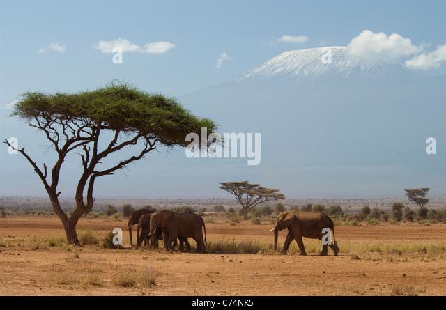 Africa, Kenya, Amboseli-Elephants walking in plains with Mt. Kilimanjaro in background - Stock-Bilder