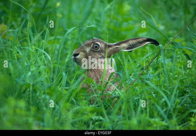 A wild Hare in Saalekreis, Saxony-Anhalt, Germany. - Stock Image