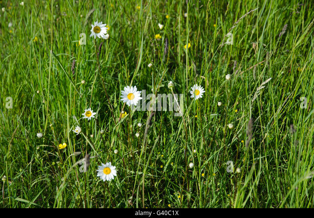 Summer feeling with wild blossom daisies in green sunlit grass - Stock Image
