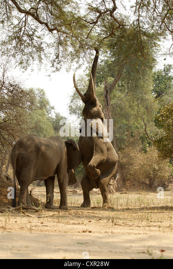 African Elephants, one on back legs reaching up to tree, Mana Pools, Zimbabwe - Stock Image