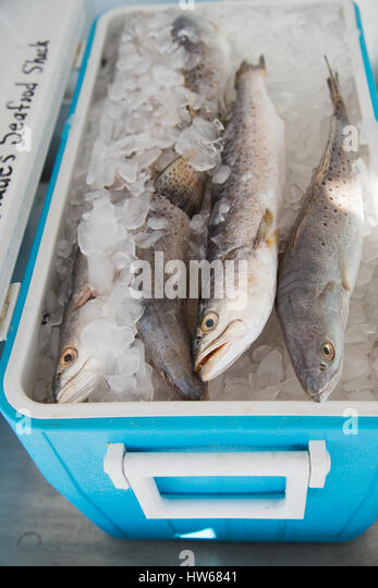 Fish in a cooler - Stock Image