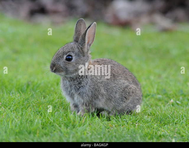 A small wild grey baby rabbit. - Stock Image