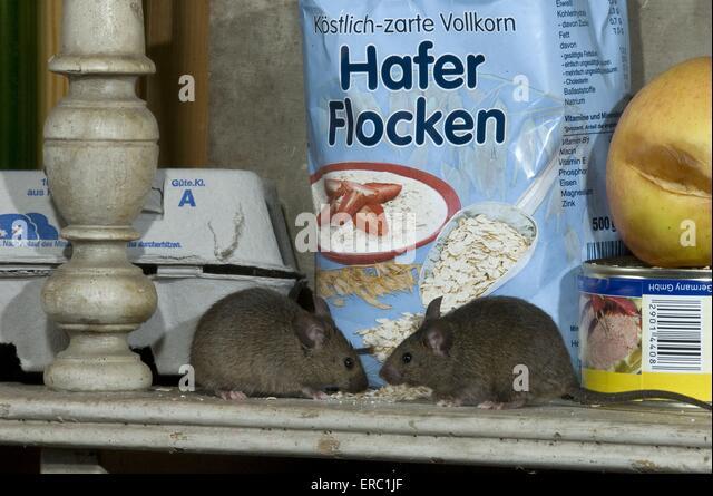 White Flakes In Kitchen Mice