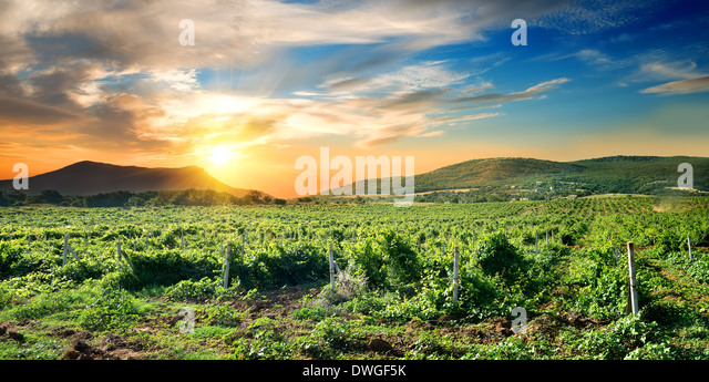 Green vineyard at the sunrise in Crimea - Stock Image