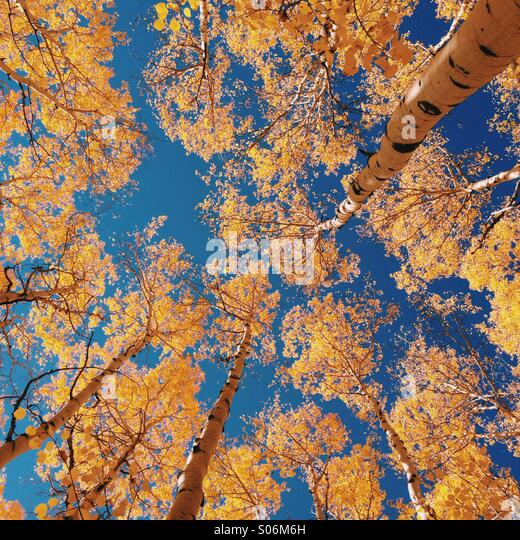 Autumn Aspens in Colorado - Stock Image