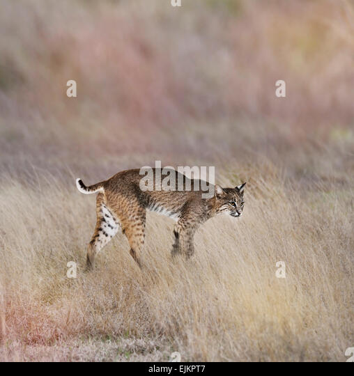 A Young Bobcat Walking In The Grass - Stock Image