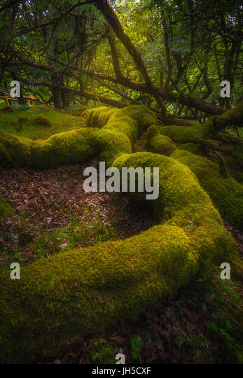 Magical forest in Ireland - Stock Image