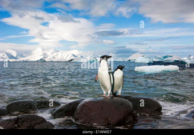 Adelie penguin(s) (Pygoscelis adeliae), Orne Islands, Antarctic Peninsula - Stock Image