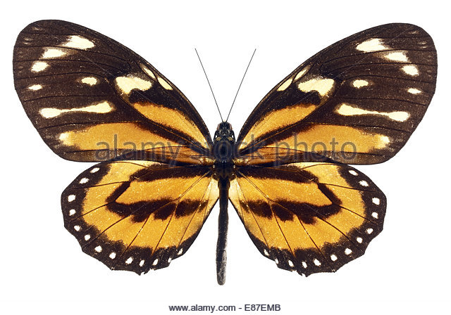 Monarch Butterfly with open wings on white background - Stock Image