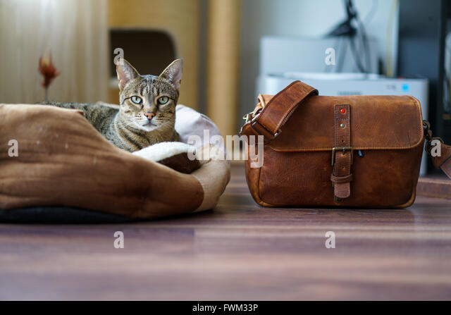 Portrait Of Tabby Resting On Floor By Leather Bag At Home - Stock Image