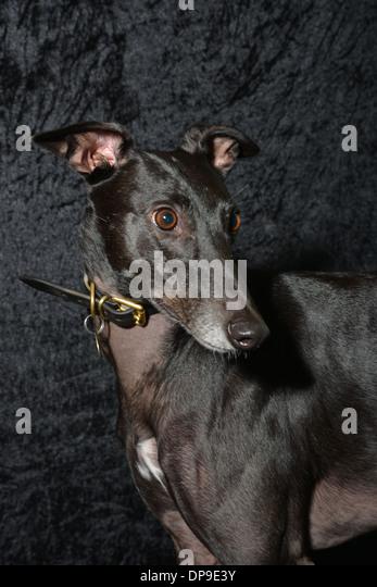 Dogs Racing Stock P Os Dogs Racing Stock Images Alamy