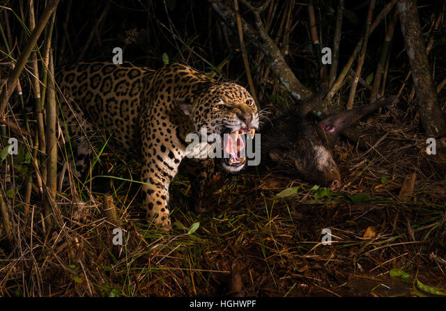 A large male Jaguar aggressively defending its prey, a White-lipped Peccary - Stock Image