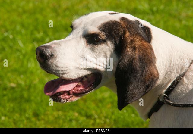 Foxhound Dog Stock Photos & Foxhound Dog Stock Images - Alamy