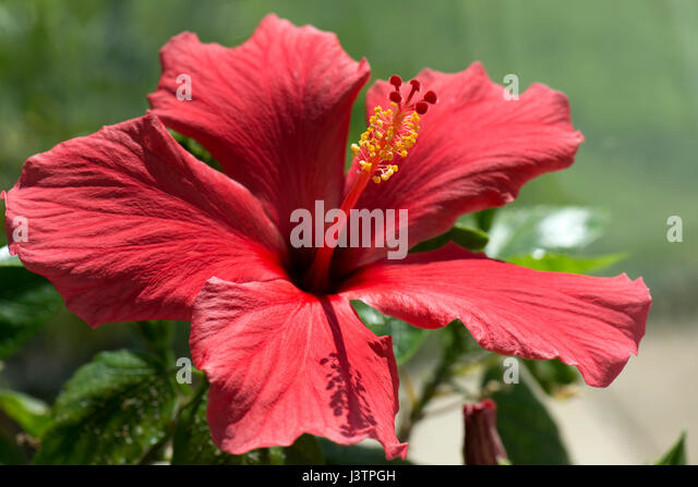 Red flower of Hibiscus rosa-sinensis or rose mallow with open petals and pronounced pistil supporrting styles, stigma - Stock-Bilder