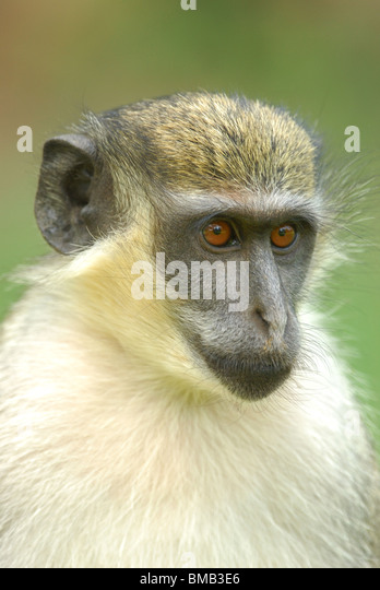 Green Vervet Monkey (Chlorocebus sabaeus) in The Gambia, western Africa. April 2009. - Stock Image