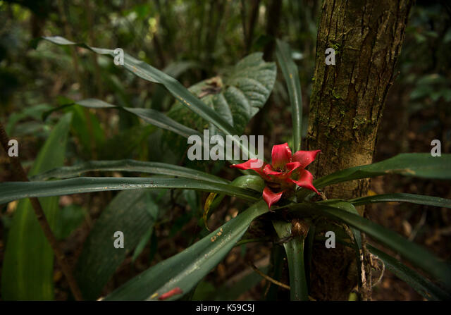 A flowering bromeliad from the Atlantic Rainforest of SE Brazil - Stock Image