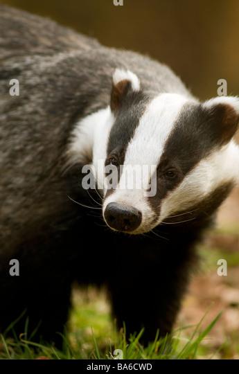 European Badger Meles meles - Stock-Bilder
