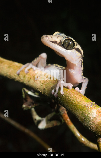 Graceful Ground Gecko, (Paroedura gracilis) Marojejy National Park, Madagascar - Stock-Bilder