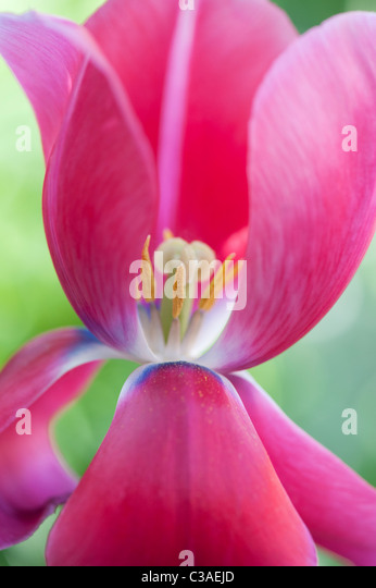 Tulipa. Pink Tulip showing pistil, stigma and stamens - Stock Image