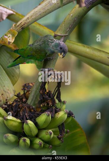 A Scaly-headed Parrot (Pionus maximiliani) eating banana at Ilhabela, Brazil - Stock Image