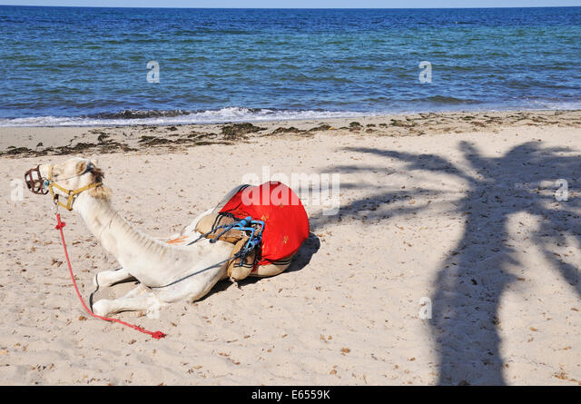 Camel resting on the beach, Djerba, Tunisia, North Africa - Stock Image
