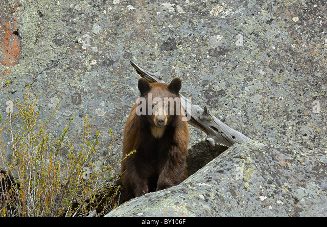Cinnamon-colored Black Bear in denning area. - Stock Image