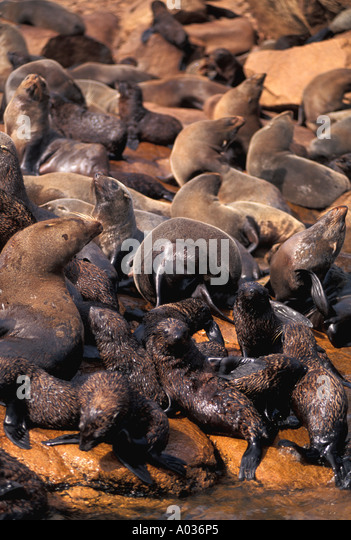 Uruguay nature reserve sea lion colony isla de lobos - Stock Image