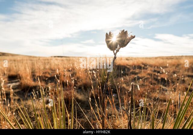 Sunlight peaking through plant creating sunburst of warm golden light. - Stock Image